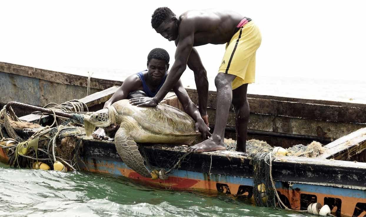 Sénégal : d'anciens mangeurs de tortues veillent désormais à leur sauvegarde