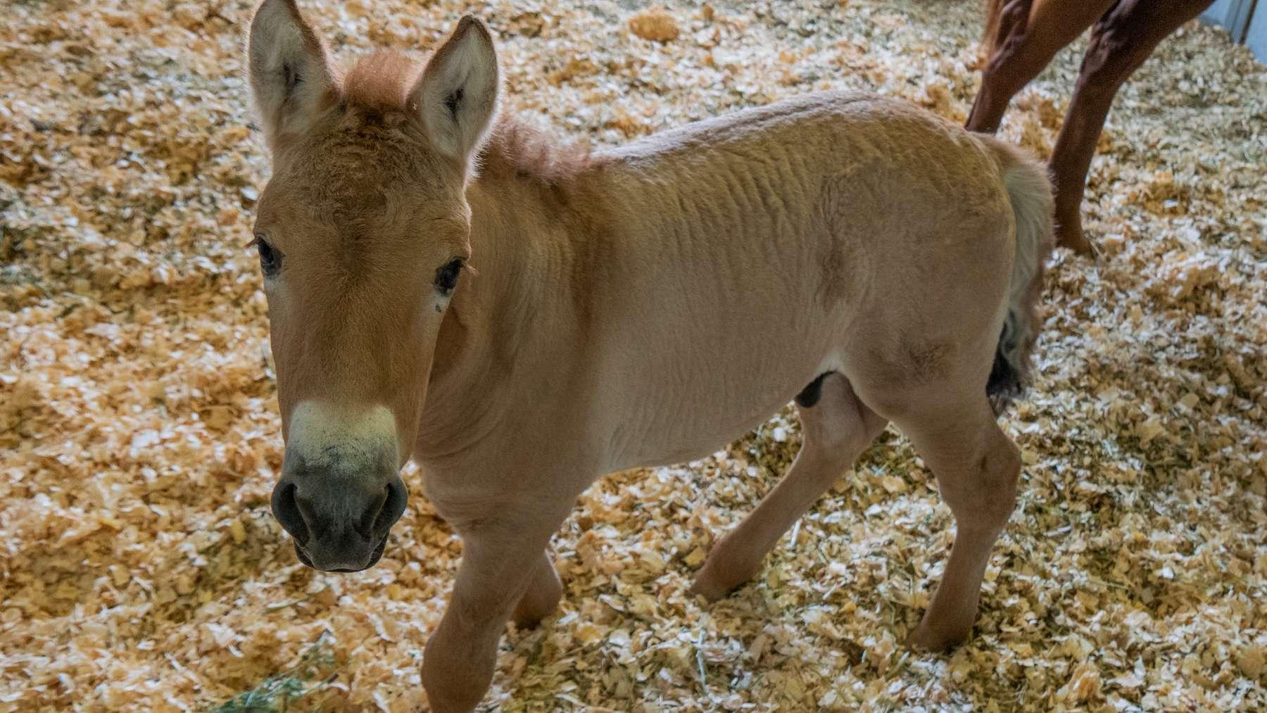 Naissance d'un poulain de Przewalski cloné pour sauver l'espèce