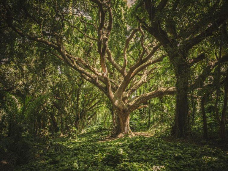 L'excès de CO2 dans l'atmosphère fait mourir les arbres prématurément