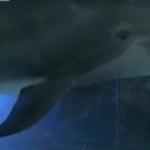 Un robot dauphin pour les delphinariums