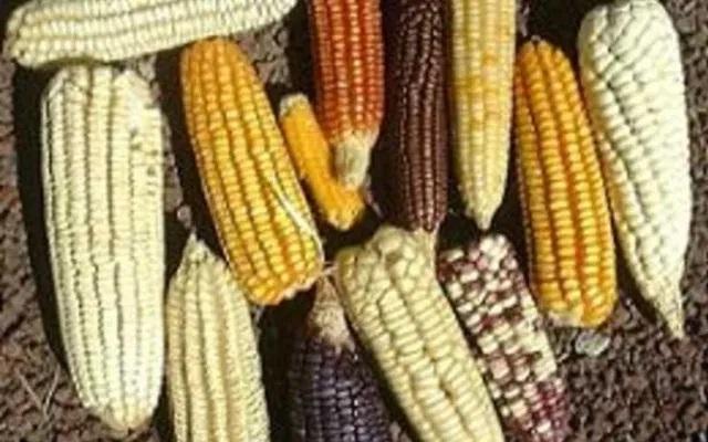 Le Mexique interdit le glyphosate et le maïs transgénique