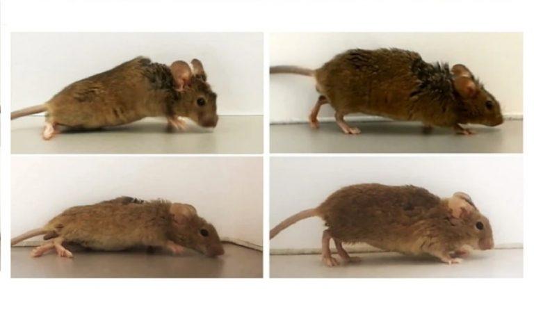 Une protéine synthétique permet à des souris paralysées de marcher à nouveau