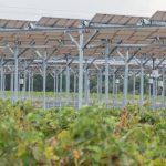 L'agrivoltaïsme, ou quand les panneaux solaires se mettent au service des cultures