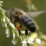 Journée mondiale des abeilles : Leur disparition pourrait causer des millions de morts