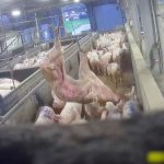 Nouvelles images chocs de L214 dans un abattoir breton