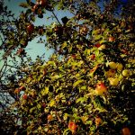 Copenhague va planter des arbres fruitiers dans les rues : une initiative utile pour donner à chacun de bons produits