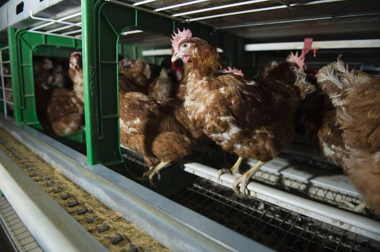 L'élevage en cage interdit en 2027 ? Le Parlement européen dit oui