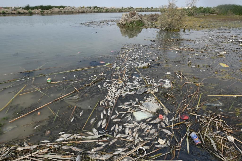 Biodiversité.Dans les marais d'Irak, les poissons meurent en masse