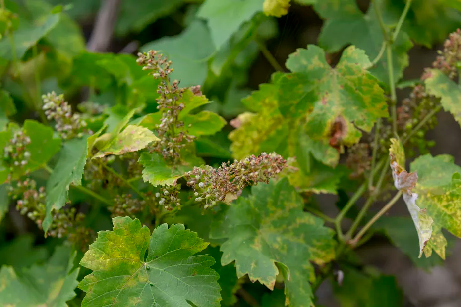 Alsace : «Certaines parcelles ne pourront plus être vendangées» : le vignoble alsacien touché par le mildiou