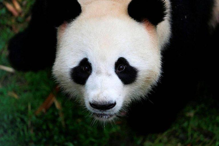 La Chine retire le panda de sa liste d'animaux en voie d'extinction