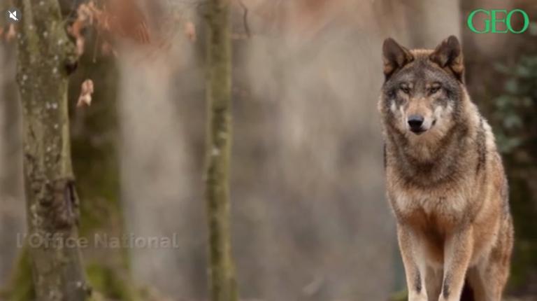 Quelle est la situation du loup en France ?