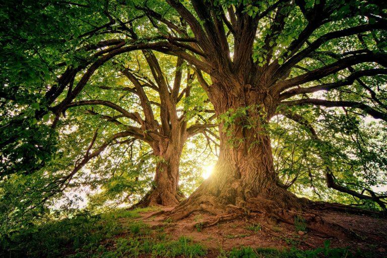 """Les """"super arbres"""" vont-ils nous sauver du dérèglement climatique ?"""