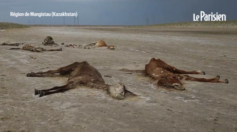 VIDÉO. Au Kazakhstan, des centaines de chevaux meurent de faim à cause de la sécheresse