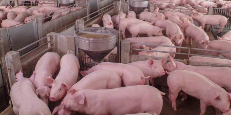 «Ils coupent les queues à vif» : L214 dévoile un témoignage face caméra et des images choc dans un élevage de porcs