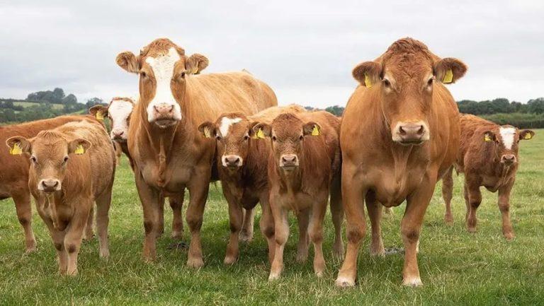 Nourrir les bovins d'élevage avec des algues réduit leurs émissions de méthane de 82%